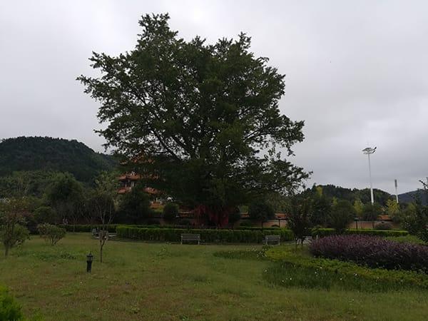 Ein Ginkgobaum im Miyin Tempel in der Volksrepublik China