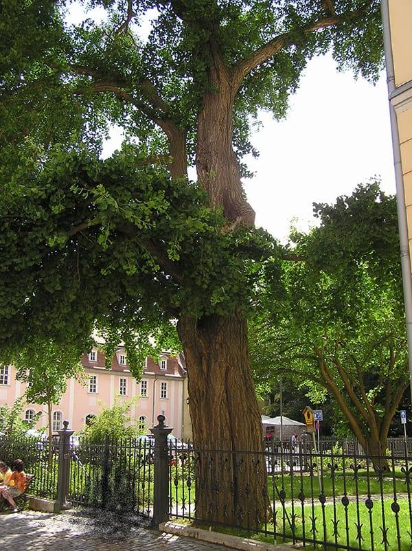 Der Ginkgobaum am Weimarer Fürstenhaus, bzw. der Musikhochschule in Weimar