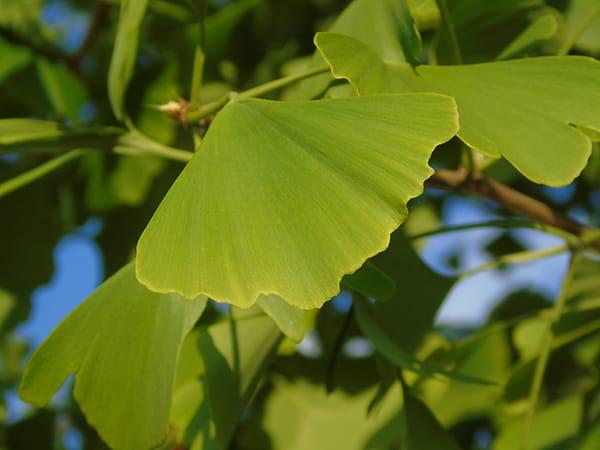 Ein Ginkgoblatt Biloba von der Pflanze